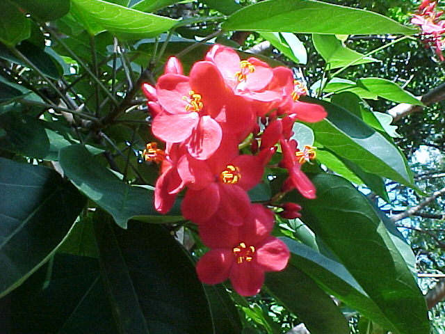 Jatropha bloom